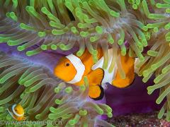 westlicher Clownfisch