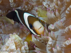 Clownfisch in Glasperlenanemone