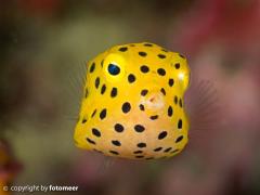 Babykugelfisch