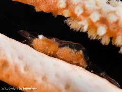 winzige Garnele (3 mm) in einem Seefächer