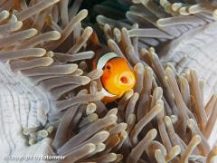 Baby-Clownfisch in Prachtanemone