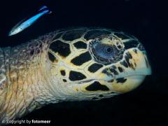 Karettschildkröte mit Putzerfisch