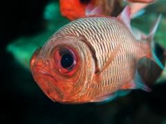 Soldatenfisch