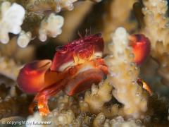 kleine Korallenkrabbe mit Eiern im Bauch