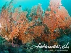 Korallenfächer