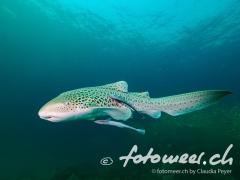 Leopardenhai mit Remora