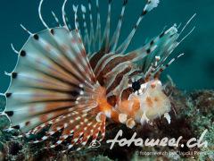 Rotfeuerfisch1