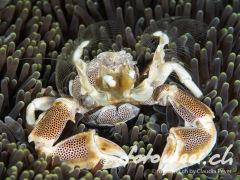 Porzellankrabbe beim Planktonfang