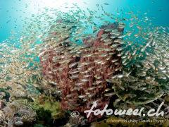 Glasfische im Gegenlicht