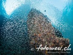 Glasfische ohne Ende