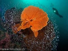 Gorgonie mit Glasfischen und Taucher