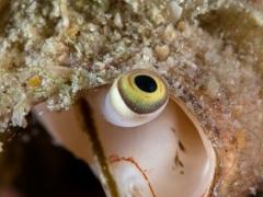Auge einer Flügelschnecke