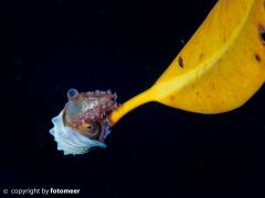 Papiernautilus lässt sich durchs Meer treiben (blackwaterdiving)