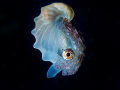 Papiernautilus (1.5 cm) (blackwaterdiving)
