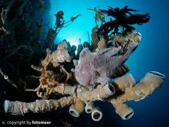 Anglerfisch in seiner Koralle