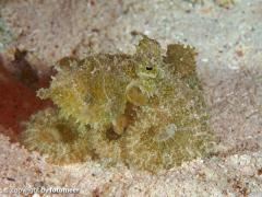 kleiner Oktopus beim Nachttauchgang