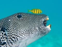Kugelfisch mit Pilotfisch und Muscheln im Maul