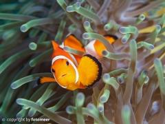 klassischer Nemo
