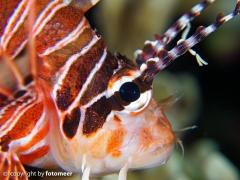 Portrait eines Rotfeuerfisch