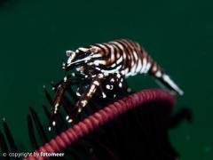 Crinoidshrimp - Federsterngarnele