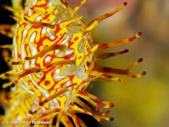 Blick in die Bauchtasche eines Geisterpfeifenfisches (Eier)