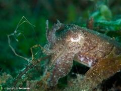 Sepia und Skeletonshrimp