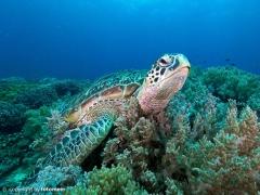 Schildkröte auf Apo Island