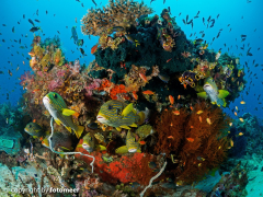 Süsslippen am Korallenblock