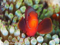 Stachel-Anemonenfisch in seiner Anemone