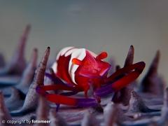Imperator-Partnergarnele (1.5 cm) auf einer Seegurke
