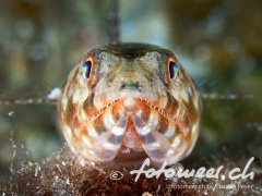 junger Eidechsenfisch
