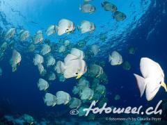 Langflossen-Fledermausfische