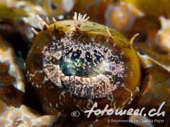 das Auge des Krokodilsfisch