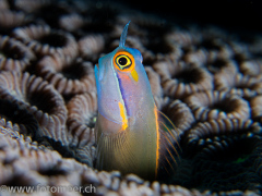 Blenny in Steinkoralle