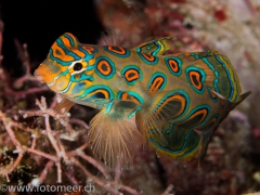 LSD-Leierfisch (Pictured dragonet)