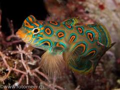 LSD-Leierfisch (Pictured dragonet)