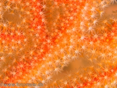 orangen-Gorgonie